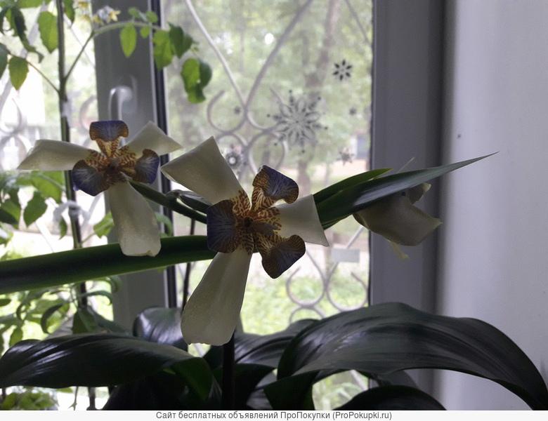 продам комнатный цветок Неомарика
