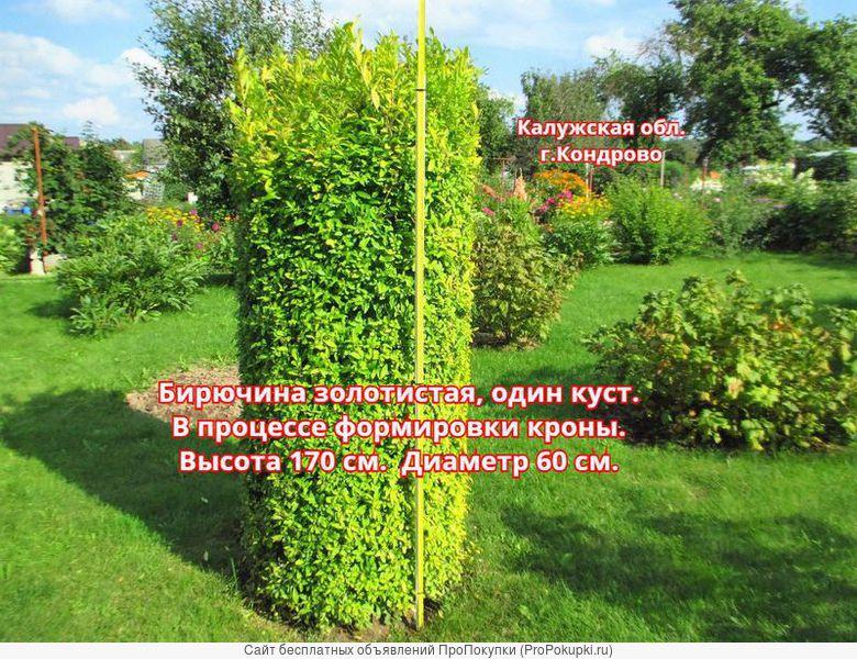 Бирючина золотистая, живая изгородь, бордюр, одиночный куст