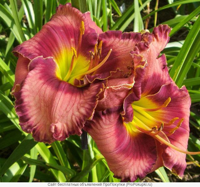 лилейнибки и гибискусы - садовые многолетники