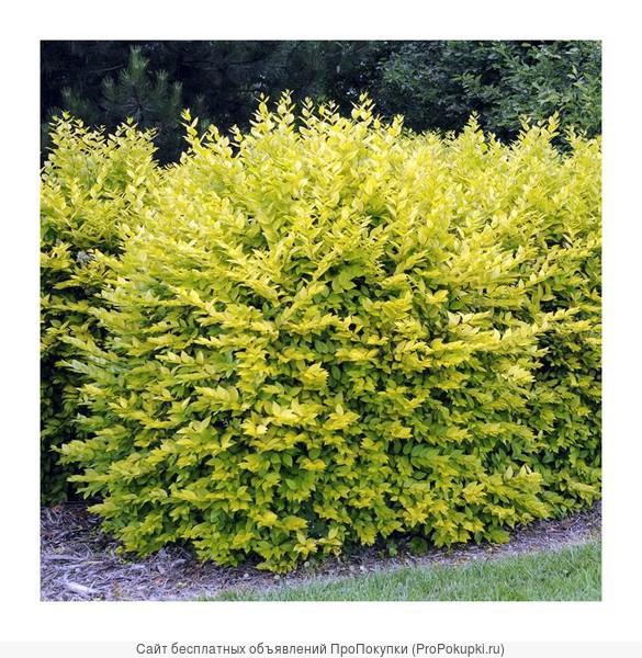 Бирючина Обыкновенная (Ligustrum vulgare) от 20 до 60 см