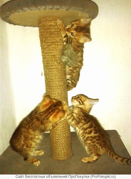 продажа или обмен котята