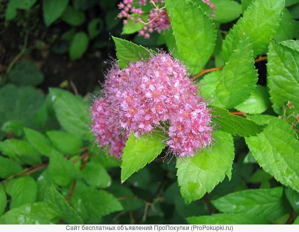 Спирея Бумальда (Spiraea x bumalda) от 20 до 60 см