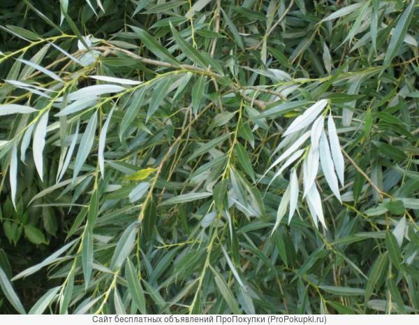 Ива Лохолистная (Salix elaeagnos) от 20 до 60 см