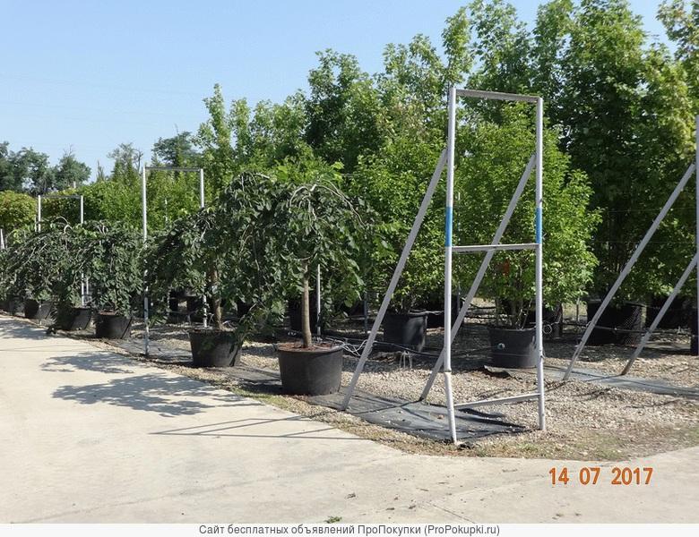 Саженцы хвойных и лиственных деревьев,цветов оптом