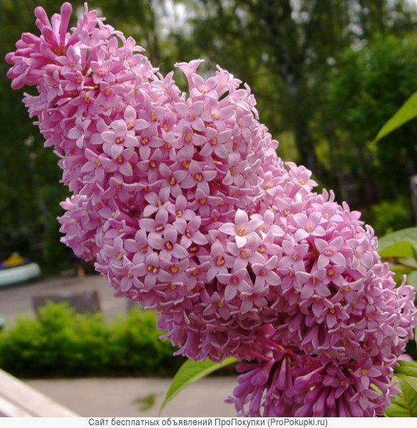 Сирень Венгерская (Syringa josikaea) от 20 до 60 см