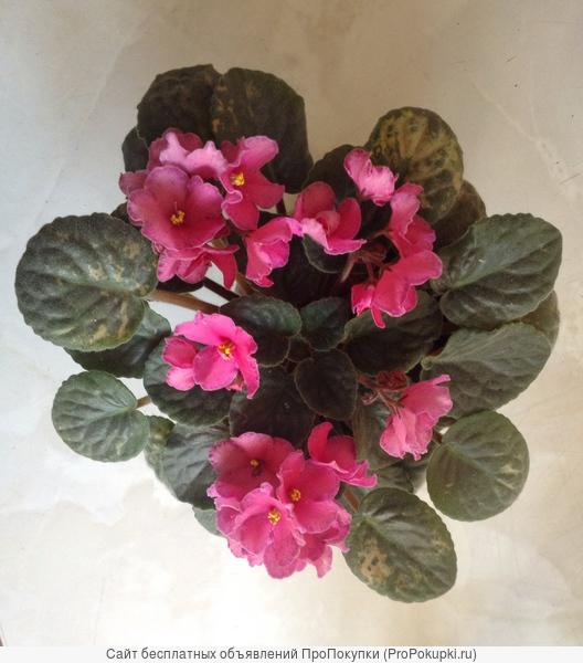 спатифиллум цветущий- неувядающий подарок на день рождения