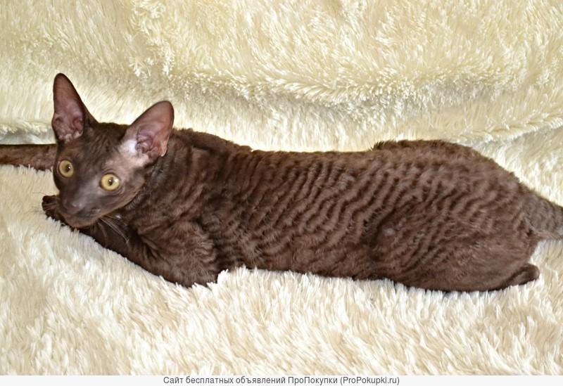 Элитные котята Корниш рекса красивых красов