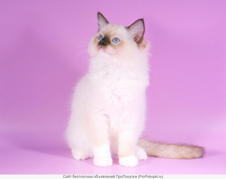 Красивые породистые котята Рэгдолл