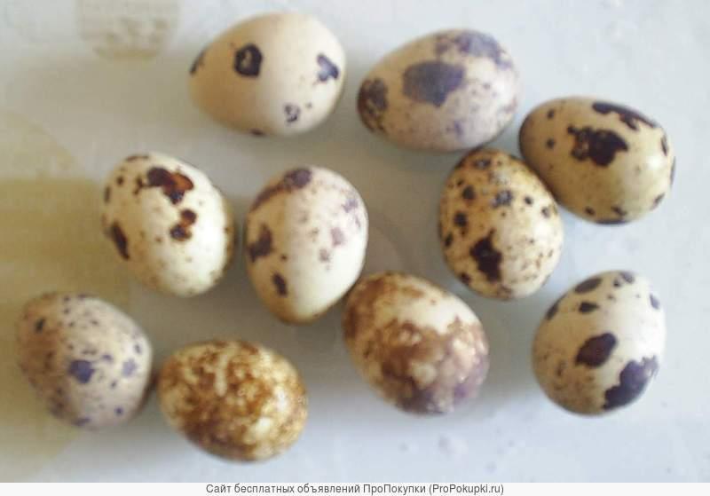 Яйцо инкубационное тяжелых мясных перепелов