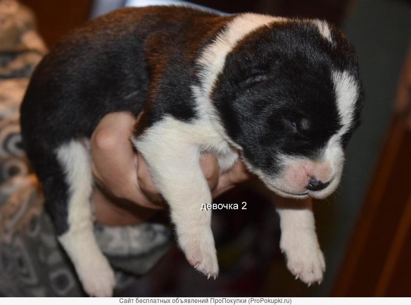 Мощные качественные щенки Алабая
