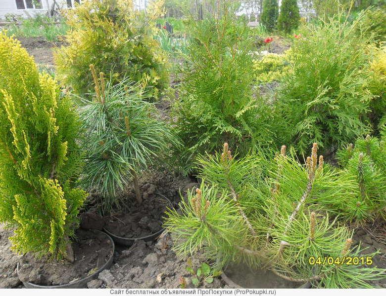 Саженцы хвойных, декоративных, водных растений