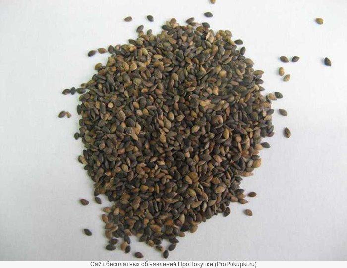 Отправим почтой кондиционные семена Сосны обыкновенной
